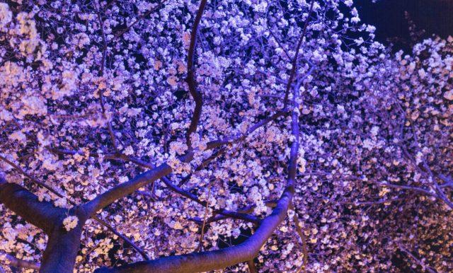 大阪夜桜スポット