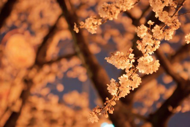 京都の夜桜